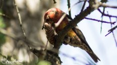 White-wing Crossbill