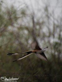 Scissors-tailed Flycatcher