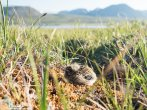 Longspur Chick (either Smith's or Lapland)