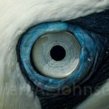 One of the incredible things about a northern gannet their huge, blue-ringed eye. Really incredible!