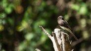 Black Phoebe (Sayornis nigricans )- Bentson State Park, Texas