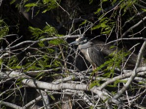 Yellow-crowned Night-heron (Nyctanassa violacea )