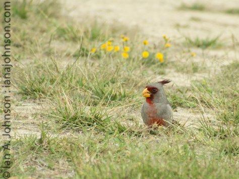 pyrrhoxlia - Falcon State Park
