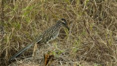 The Roadrunner (Geococcyx californianus ) - Falcon State Park