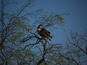 A pair of Crested Caracara (Caracara cheriway) at Atascosa NWR