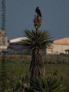 Harris's Hawk (Parabuteo unicinctus) - Atascosa National Wildlife Refuge