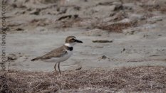 Semipalmated Plover (Charadrius semipalmatus) - Padre Island National Seashore