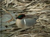 Green-winged Teal (Anas crecca )
