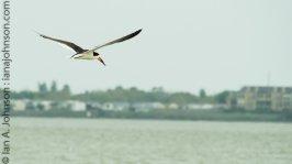 Black Skimmer (Rynchops niger) - Corpus Christi, Texas