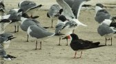 Black Skimmer (Rynchops niger) among Laughing Gulls- Corpus Christi, Texas