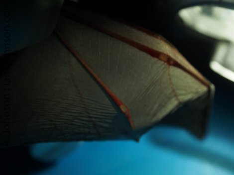 One of the important pieces of data to collect is whether the bat is an adult or juvenile. Bats, like humans, have cartilage in their joints when they are young. By shining a light through the wing it becomes apparent that this particular bat is a junvenile!
