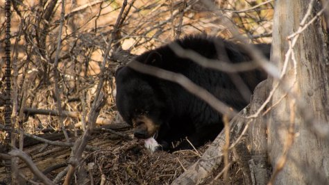 We experienced the mother bear eating the remains of her deceased third cub.