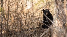 Momma bear hanging close to home and watching the frolicking cubs.