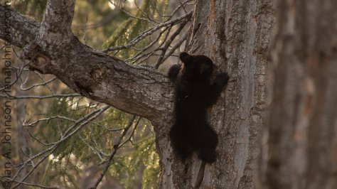 The limb to the left of this cub was their favorite part. They would climb up to it, rest for a bit, and then shimmy back down the tree.