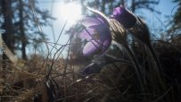 A newly bloomed pasque flower in the sunlight in Fort Yukon, AK