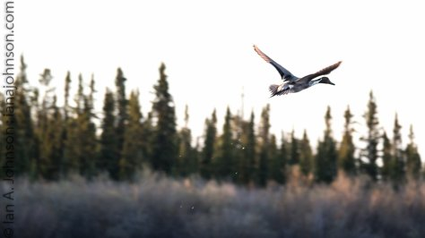 A pintail duck takes flight around Fort Yukon. AK