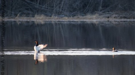 A canvasback salutes the sun and stretches its wings near Fort Yukon