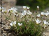 Arctic Sandwort