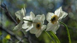 Narcissus Anenome