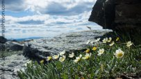 Mountain Avens overlooking the top of Wickersham Dome.
