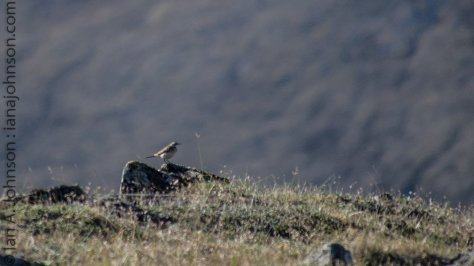 A male northern wheatear watching over his summit at Eagle Summit.