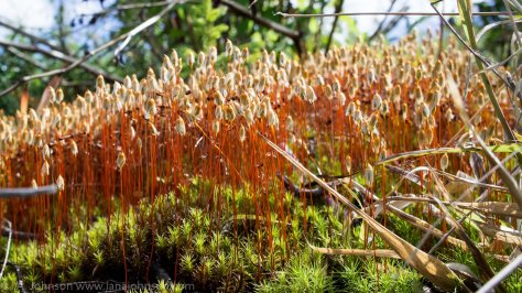 The stalks of these club moss were beautiful!