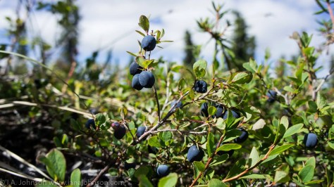 (1) The Alaskan blueberries are ripening up and are ripening up in waves....