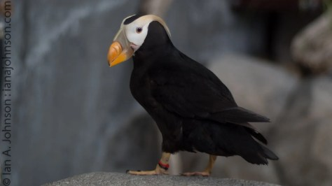 Tufted puffin picture taken at the Alaska Sealife Center in Seward, AK