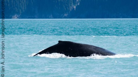 This humpback whale is headed back down for some more food.