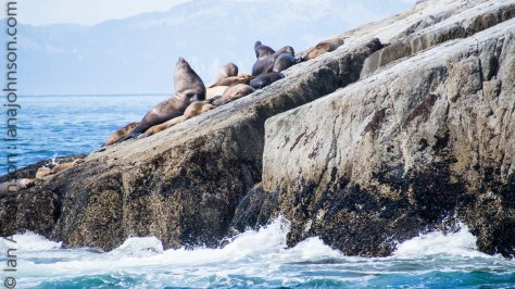 Stellar sealion males control and mate with many females called a harem. Male sea lions can be up to 2,000 pounds!
