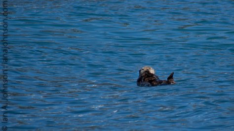 A sea-otter floats on its back displaying its classic behavior. They float along and crack clams on their chests.