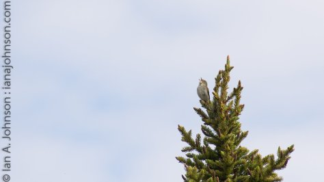 An Arctic Warbler trills from the top of its spruce tree to any females in the area.