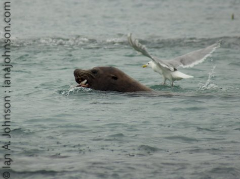 A gull scopes out what's left of this pink salmon - is there any left for it??