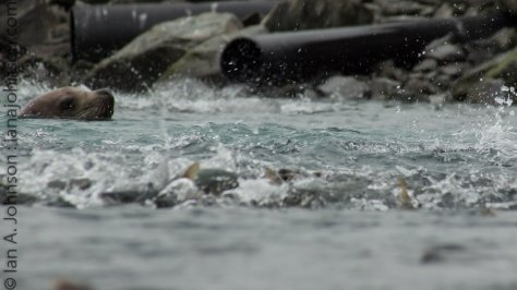 A hunting stellar's sealion is a dangerous thing for salmon. They try to get away as fast as possible!