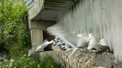 Black-legged Kittiwakes nesting below the bridge at the hatchery.