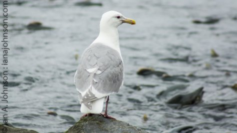 A glacous winged-gull surveys the sea of salmon.