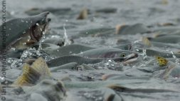 Faces of salmon appeared and disappeared as if they were looking to see how close there were getting.