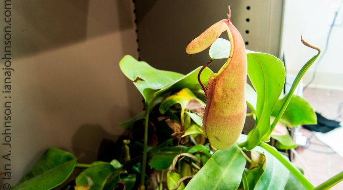 Nepenthes Saguinea : 31 Days of Swelling and Growth
