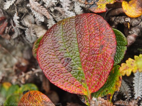 The leathery texture of this bear berry added to the vibrant falls colors it was transitioning to.