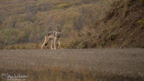 This juvenile wolf was traveling with the collared wolf. Who knows how many were still in the brush. This wolf seems a bit thin, hopefully he bulks up before winter for his sake!