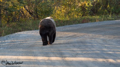 I guess this is Bear Ass picture. This big brown bear appeared in camp on Sunday morning. After very briefly checking the food lockers he forded Igloo Creek and headed to the bridge and down the road.