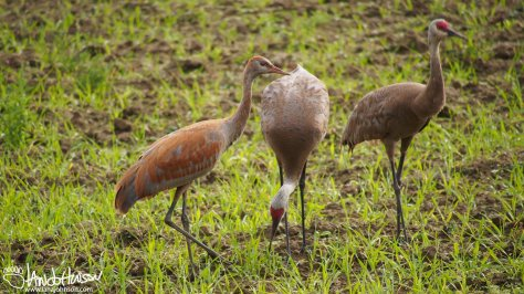 The young-of-the-year are a noticeable shade of orange which separates them from the parents.