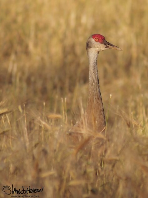Sandhill cranes are a beautiful, elegant, and striking bird. Look at that red crest and orange eye!