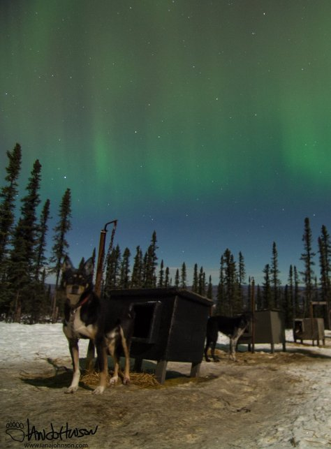 A curious sled dog checks me out... I wonder what color a dog sees the aurora in??