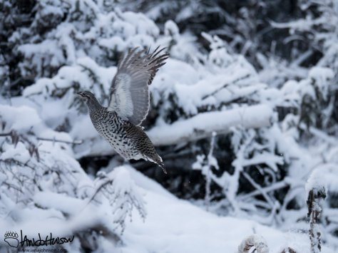 This sharp-tailed grouse was photographed the day before Thanksgiving bursting from its resting spot.