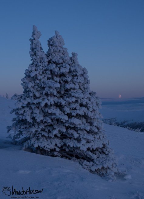 One more look at the hoar frost as a rounds a large clump of spruces encased in hoar frost.