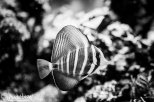 November 9th : Sailfin Tang