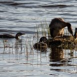 July 26th : Red-necked grebes on a second nest while the half grown chicks look ok