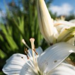 August 7th : Lily portrait