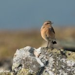 August 8th : Northern Wheatear, Steese Highway